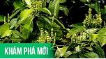 Việt Nam: Phát hiện loài cây cực quý cho người bệnh Gút